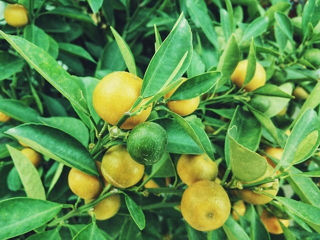 citrony na stromě.jpg